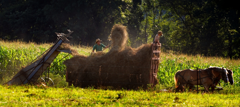 BRINGING IN THE HAY...